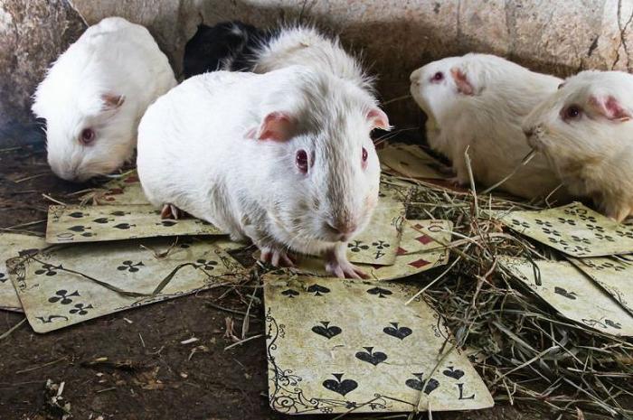 Картинки по запросу фото подопытных крыс на игральных картах